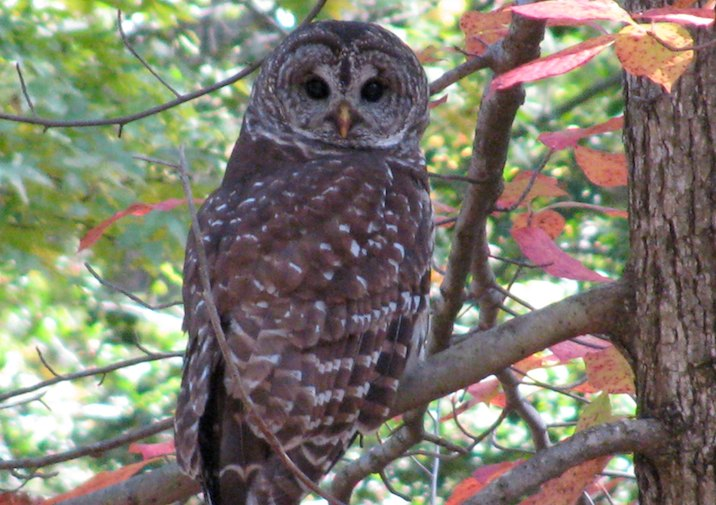 Barred Owl in Caledon State Park in Virginia.