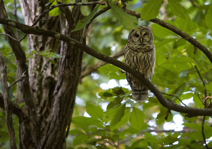 Barred Owl in Grayson Highlands State Park in Virginia.