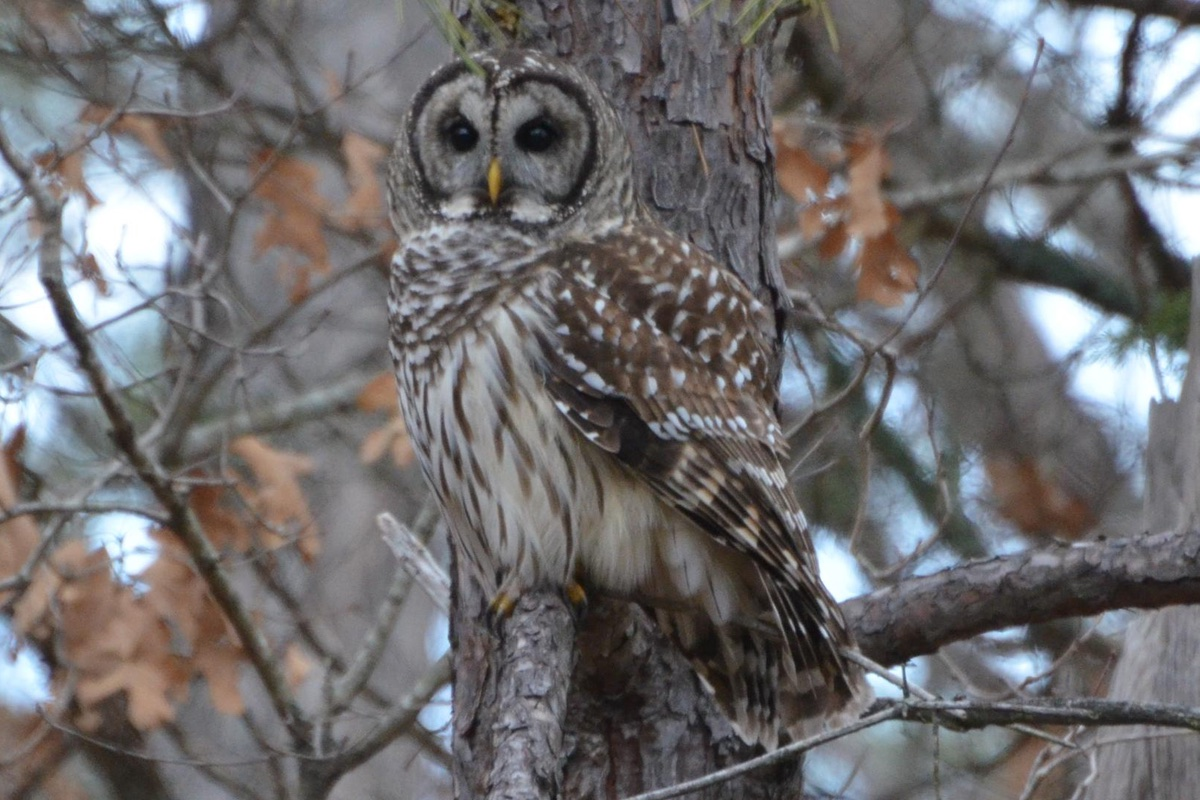 Barred Owl (Strix varia) in Hawn State Park.