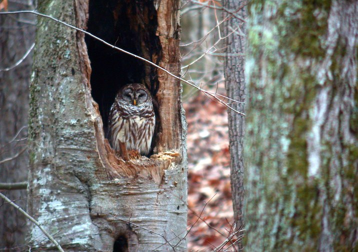 Barred Owl (Strix varia) in Frozen Head State Park Tennessee.