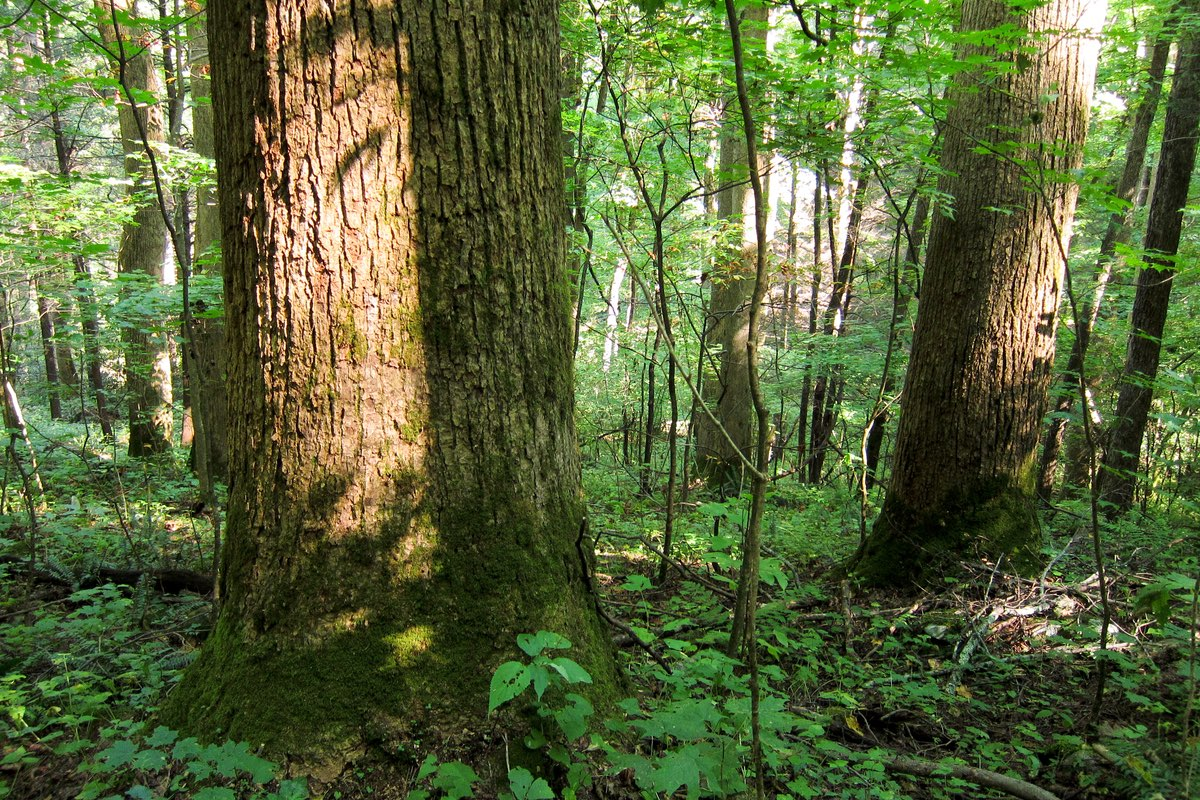 Large trees along the Baxter Creek Trail in Great Smoky Mountains National Park.