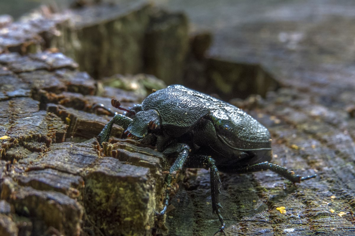 Beetle on a stump in Devil's Hopyard State Park.
