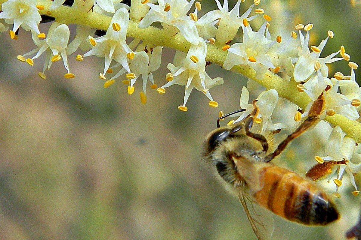 Honey Bee on a palmetto bloom. Both are common on this trail.