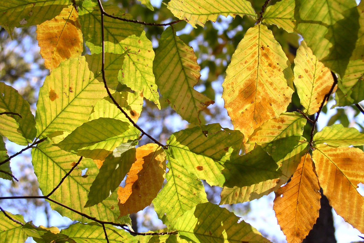 American Beech (Fagus grandifolia) leaves in Mammoth Cave National Park.