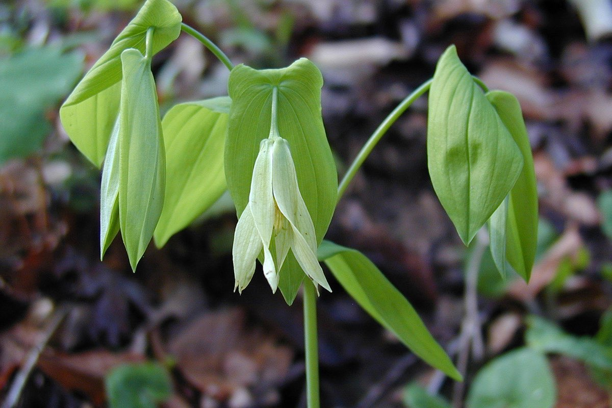 Bellwort (Uvularia perfoliata) wildflower in Mammoth Cave National Park.