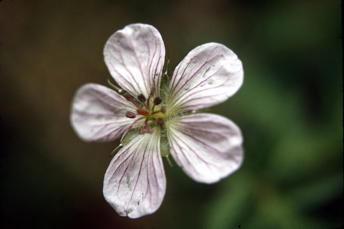 Bicknell's Geranium wildflower in Wind Cave National Park.