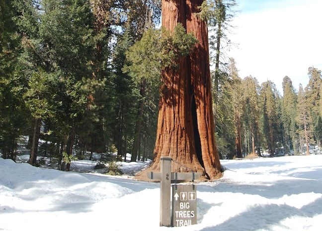 Giant Sequoia along the Big Trees Trail in Sequoia N.P.