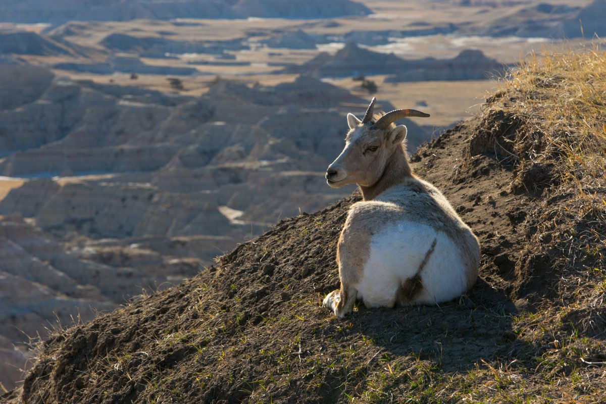Bighorn Sheep in Badlands National Park.