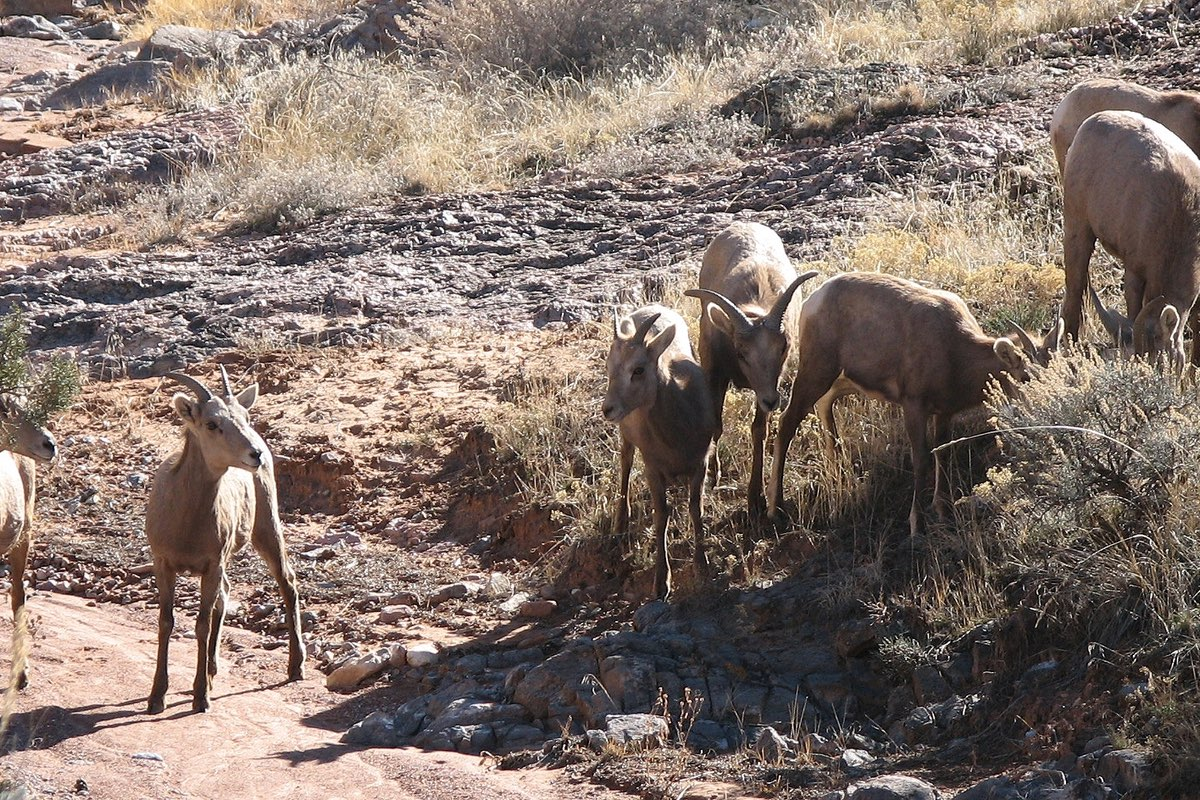 Desert Bighorn Sheep in Colorado National Monument.