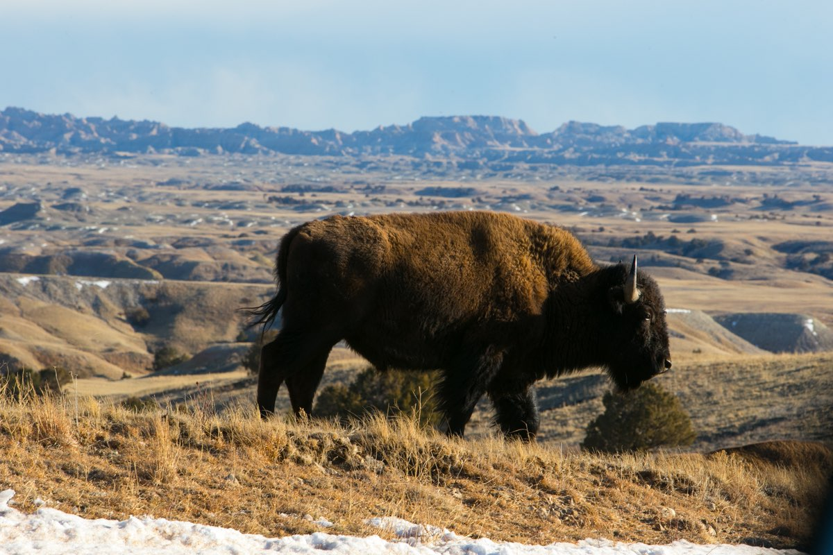 Bison in Badlands National Park.