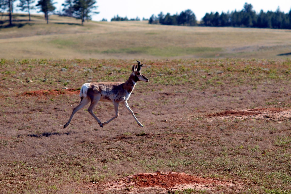 Pronghorn running past a Prairie Dog in Bison Flats in Wind Cave National Park.