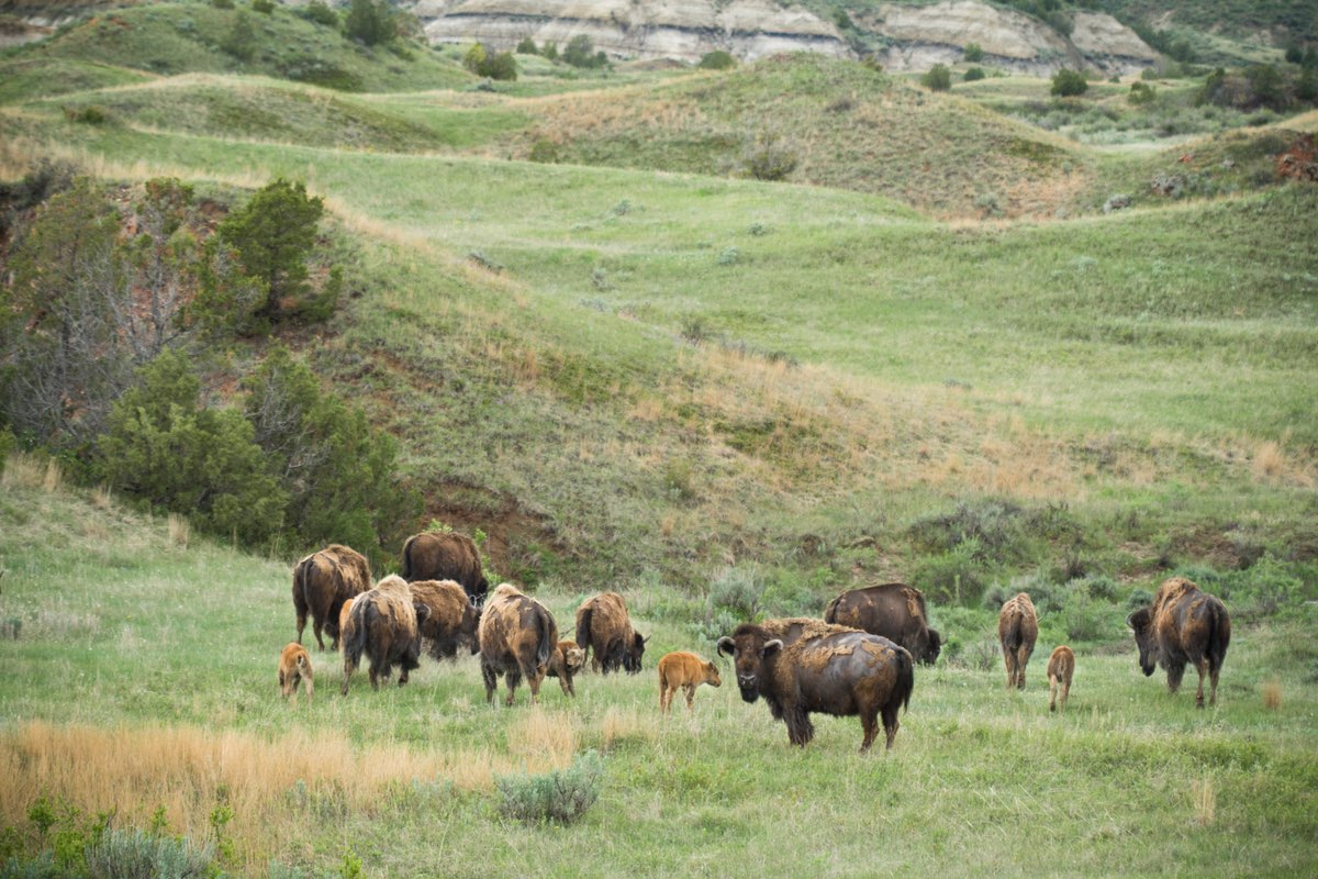Bison herd in Theodore Roosevelt National Park.
