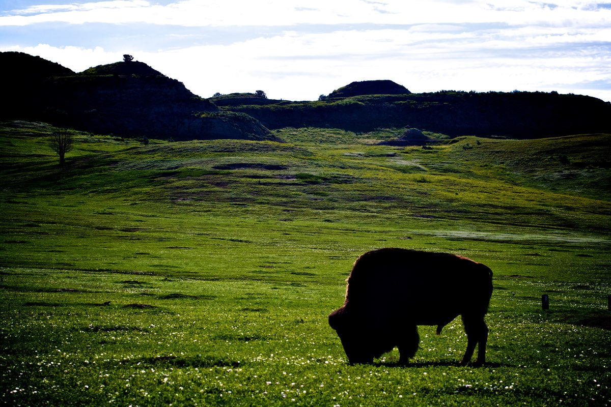Bison on the Theodore Roosevelt National Park prairie.