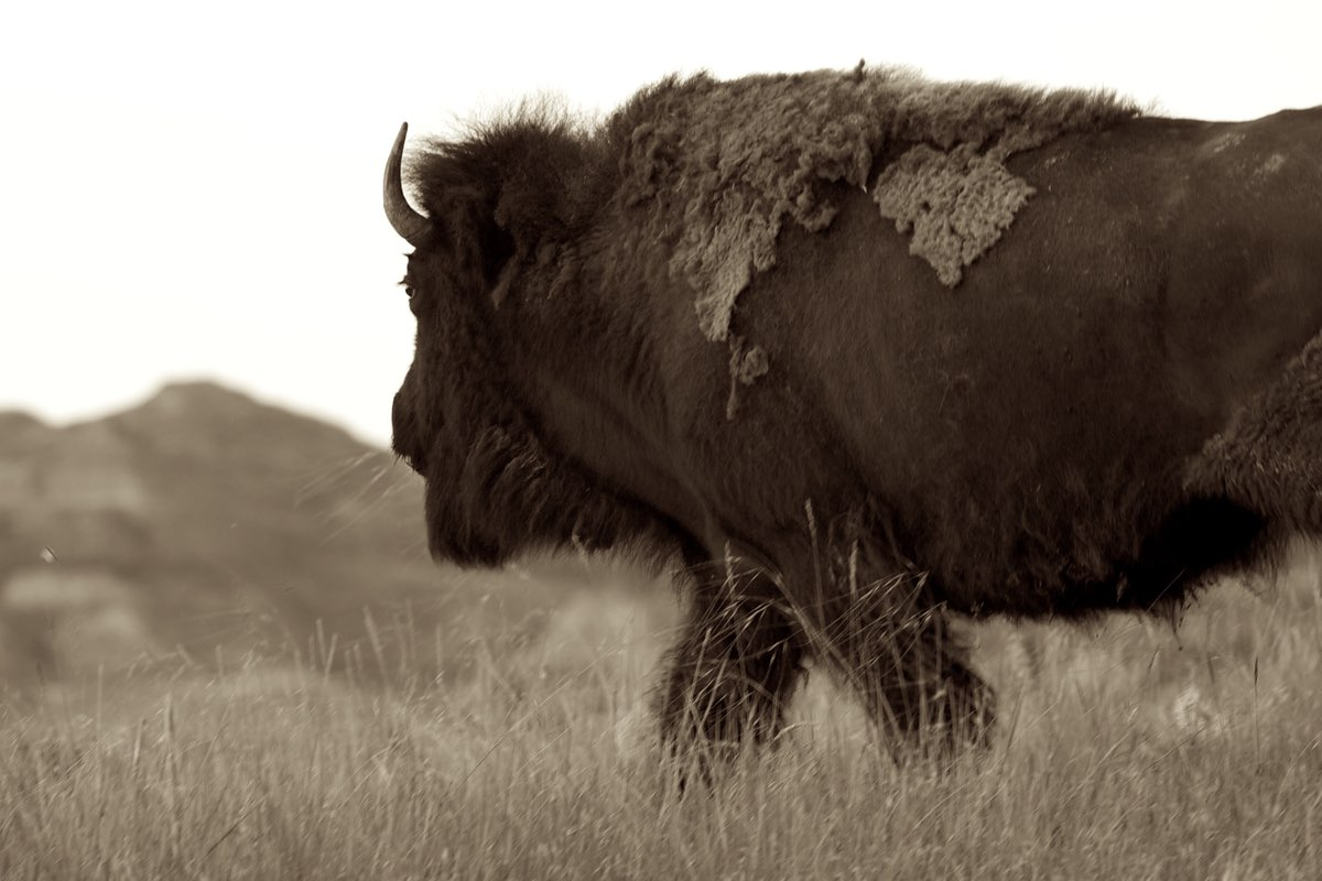 Bison in Theodore Roosevelt National Park.