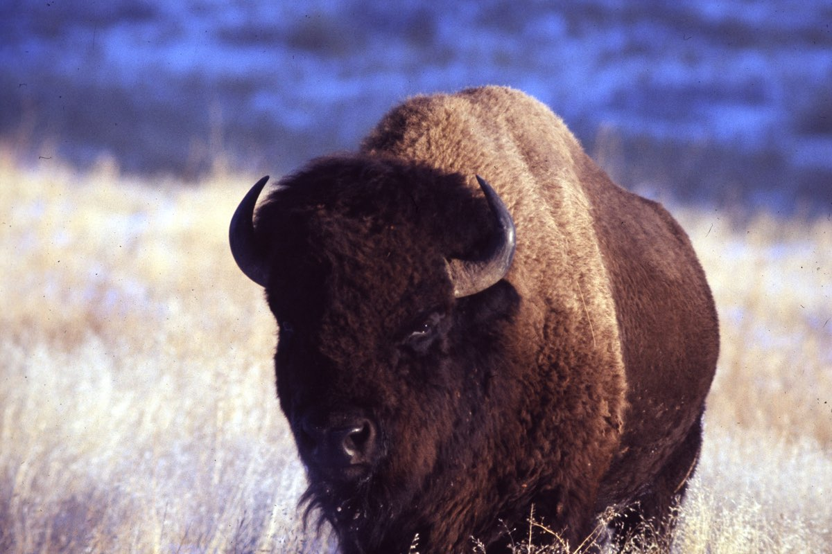 Bison in Wind Cave National Park, South Dakota
