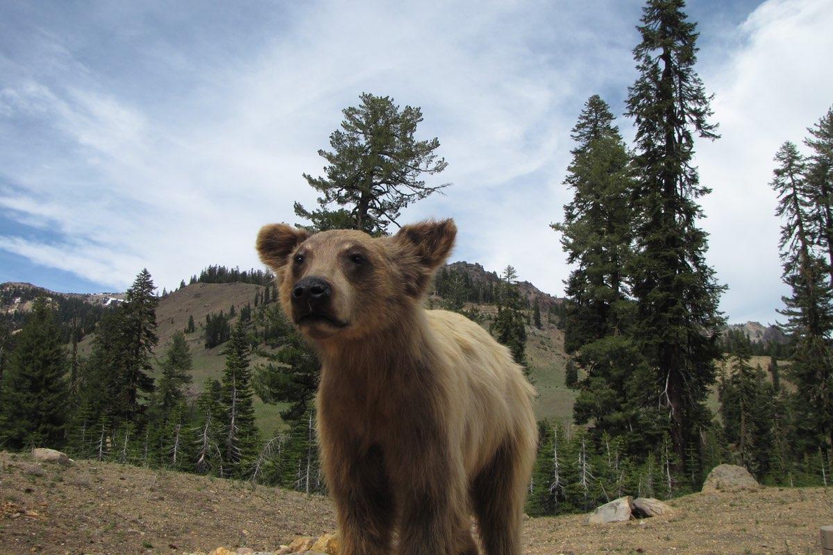 Black Bear cub in Lassen Volcanic National Park.