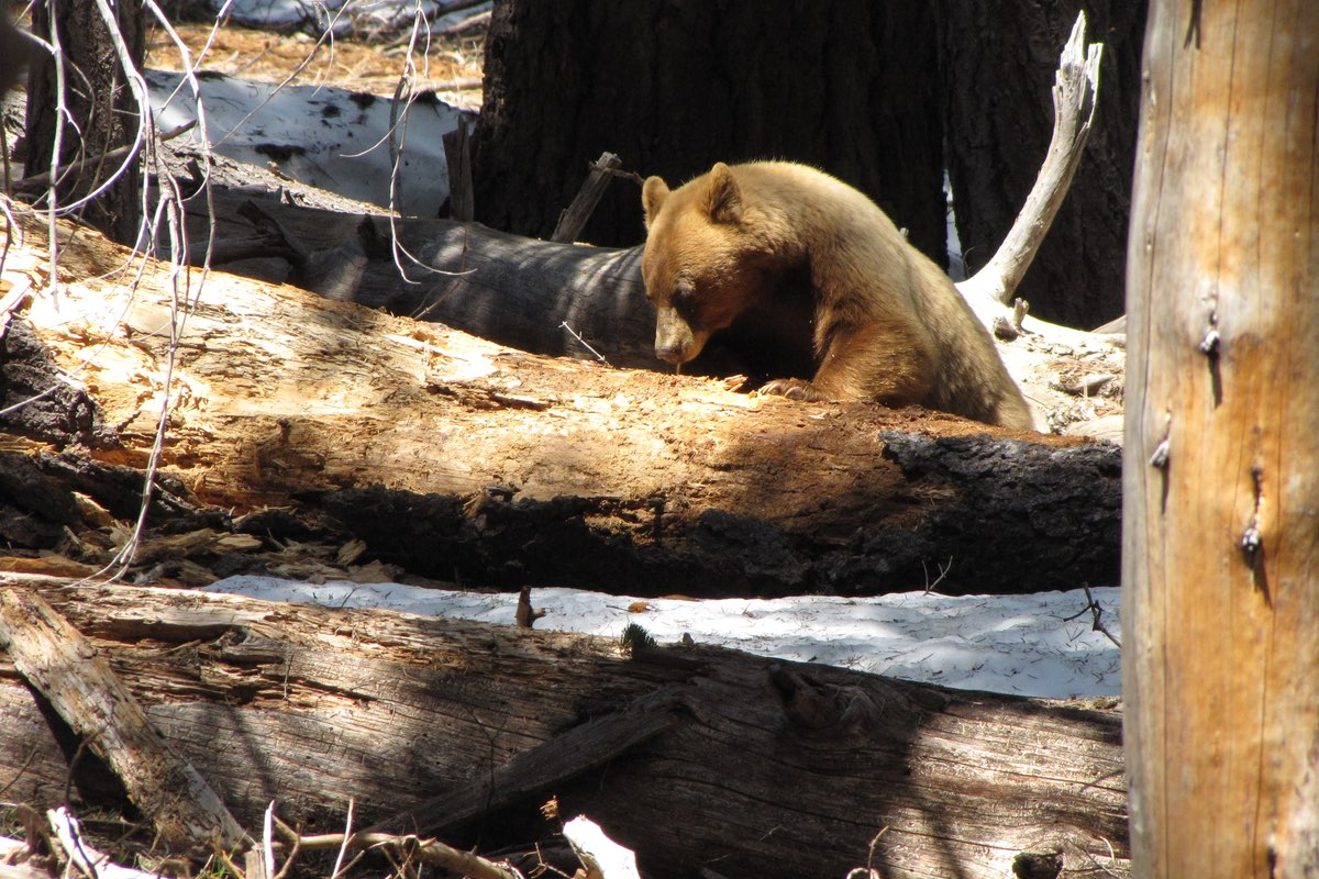 Black Bear in Lassen Volcanic National Park.