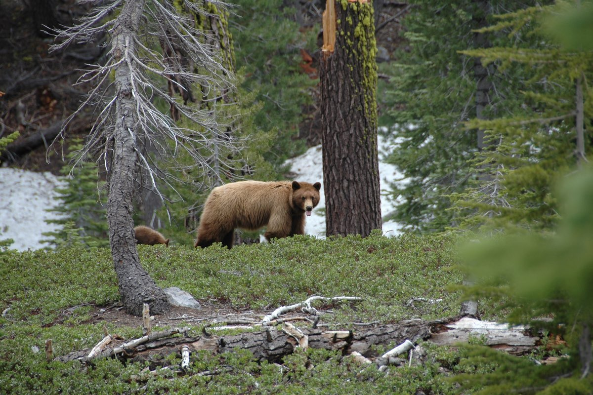 Black Bear and cub in Lassen Volcanic National Park.