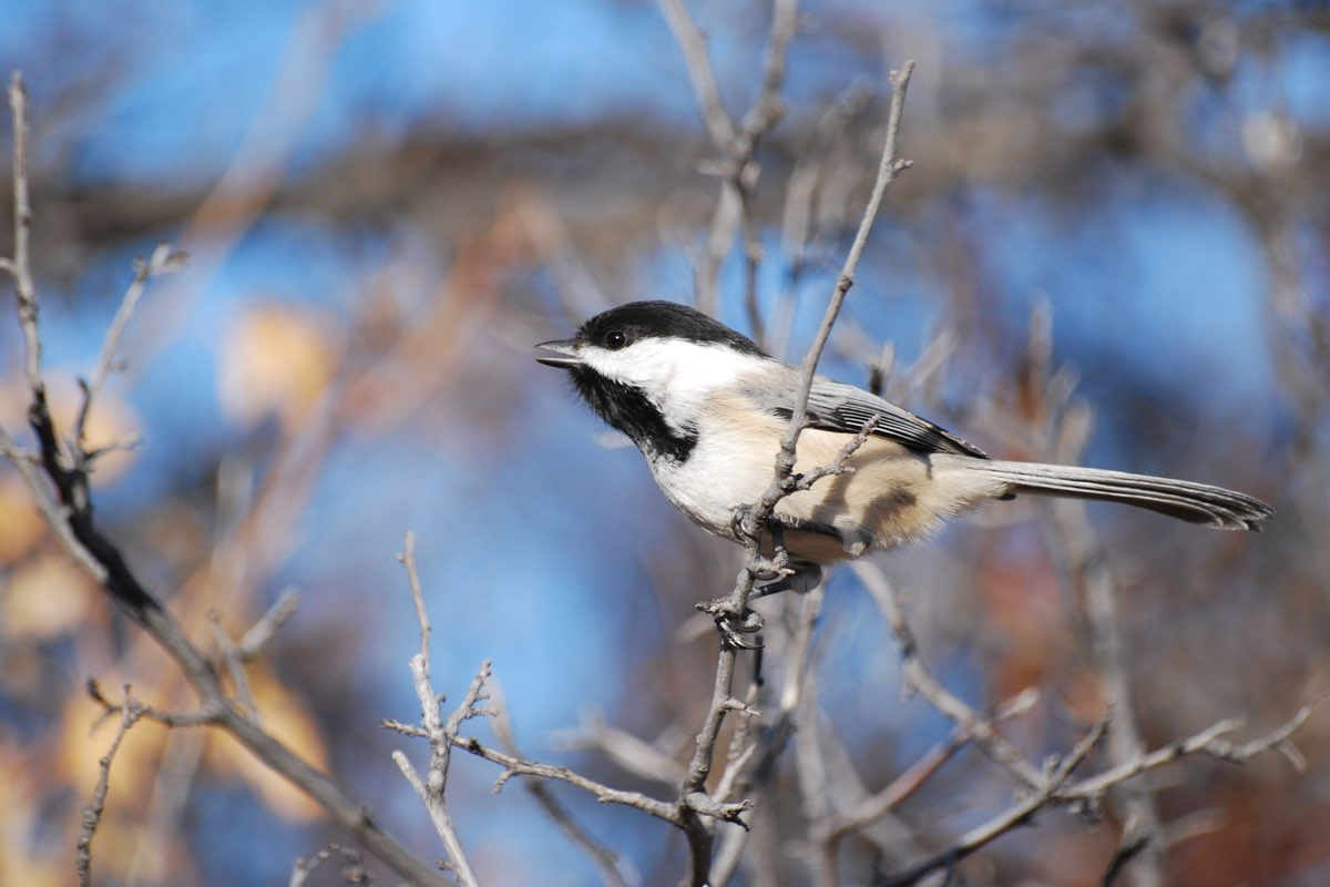 Black-capped Chickadee in Wind Cave National Park.
