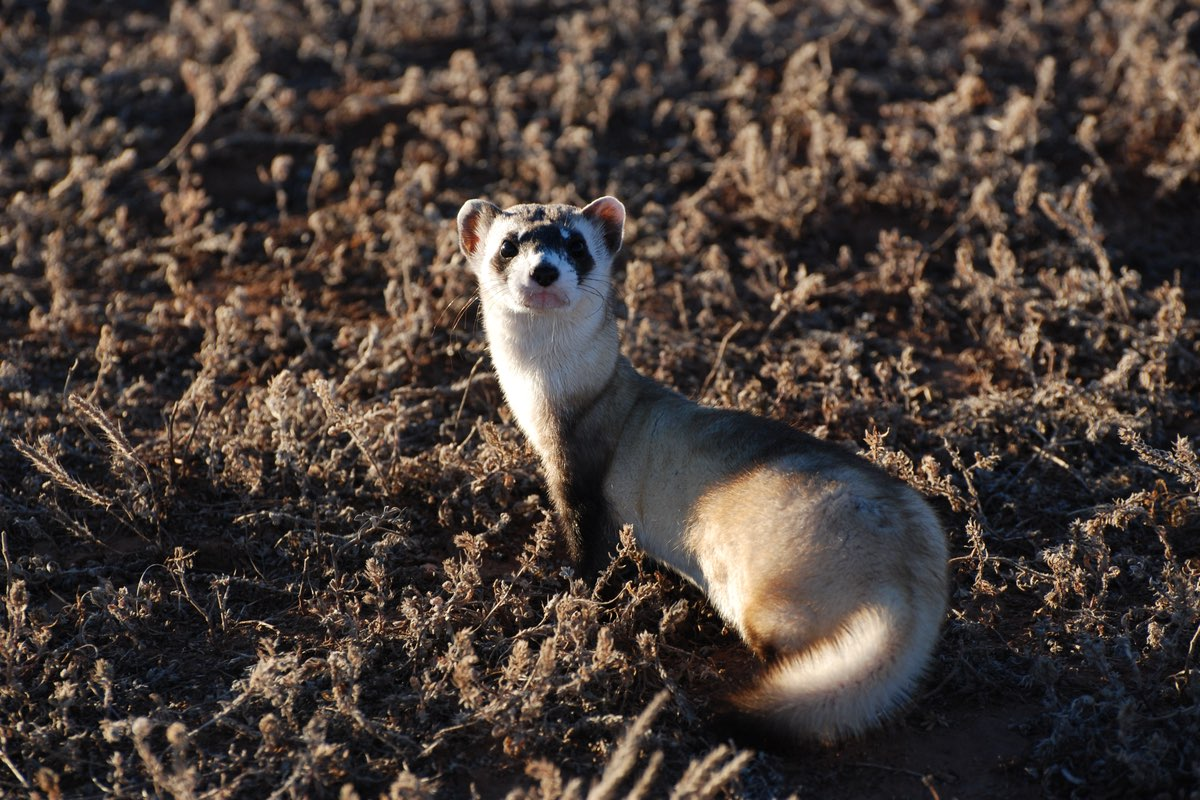 Black-footed Ferret in Wind Cave National Park.