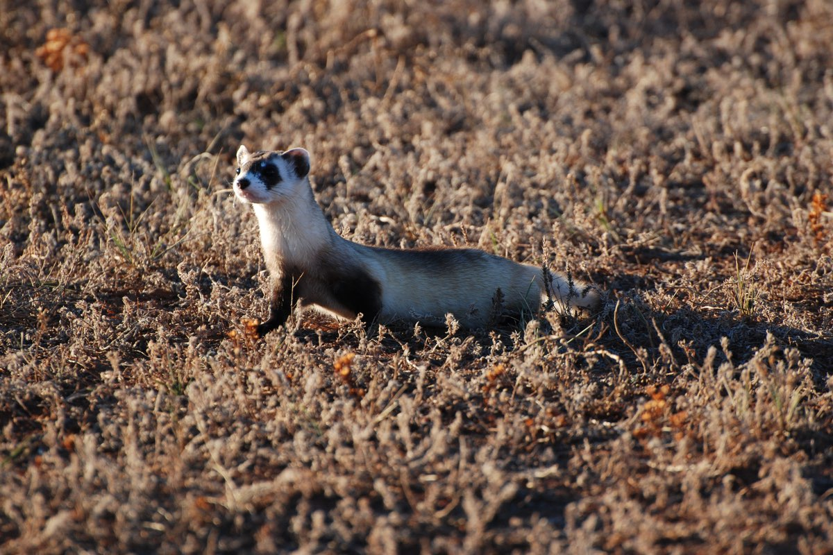 Black-footed Ferret in Wind Cave National Park, South Dakota.