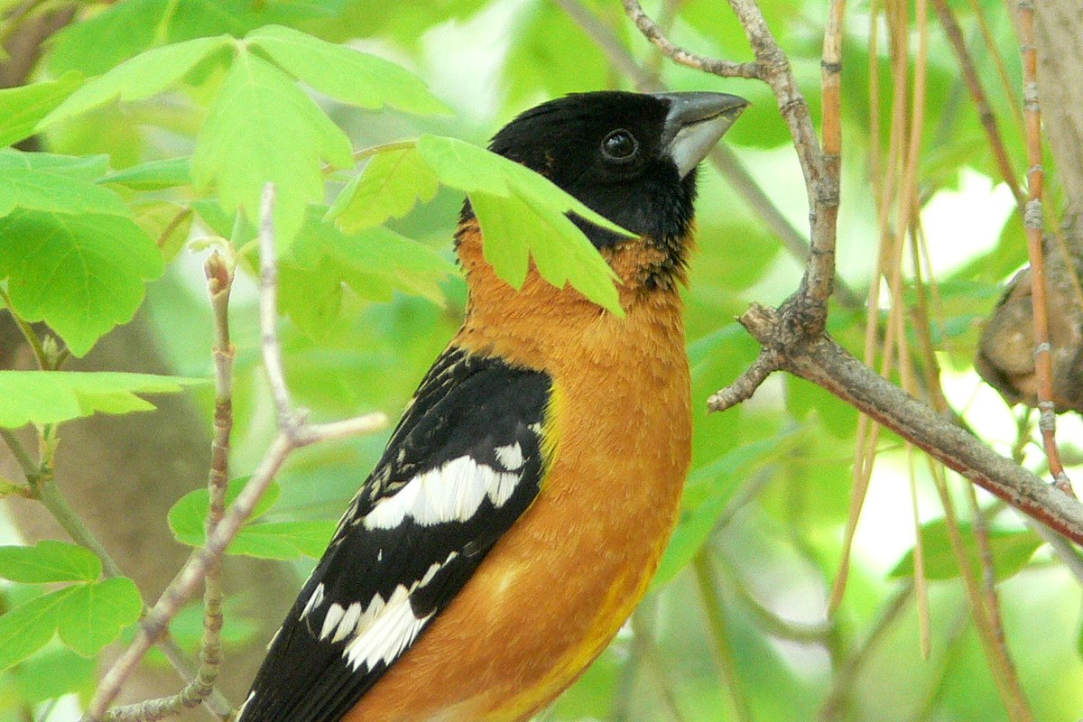 Black-headed Grosbeak in Bandelier National Monument.