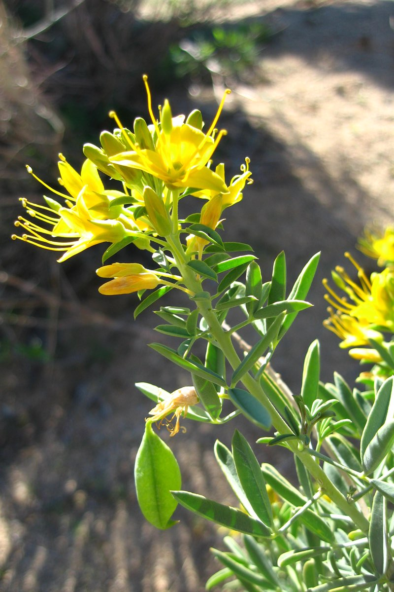 Bladderpod (Peritoma arborea) along the Indian Cove Trail in Joshua Tree National Park.