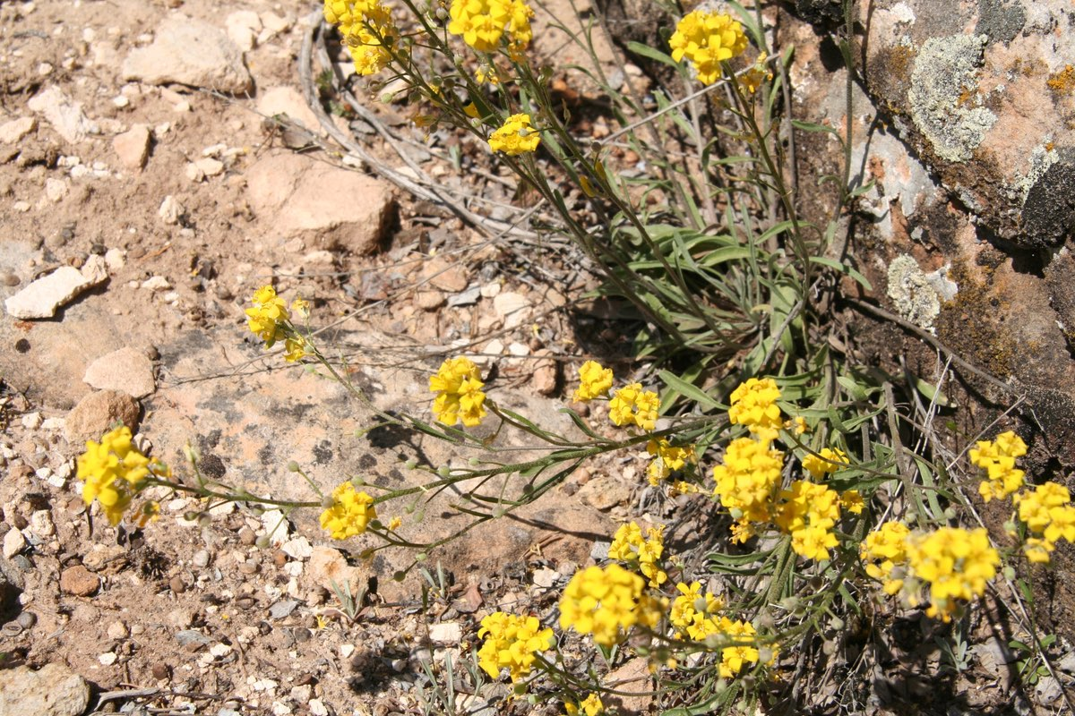Bladderwort is common along trails in Colorado National Monument.