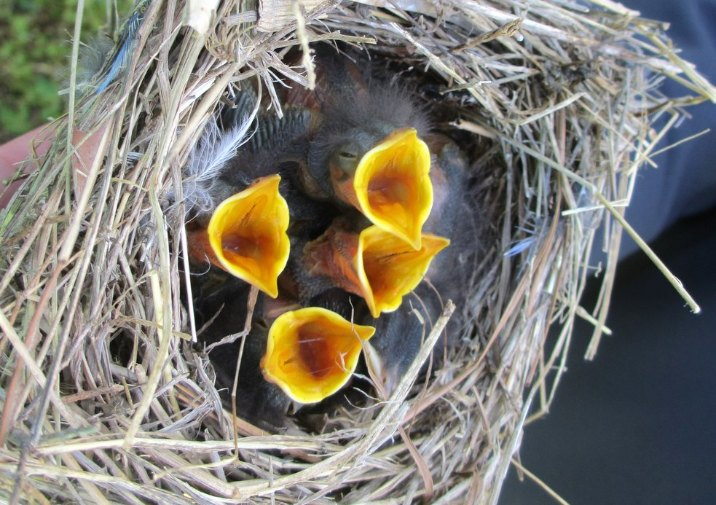 Baby Blue Birds in Belle Isle State Park in Virginia.