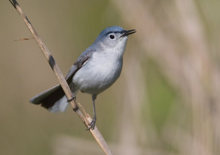 Blue-gray Gnatcatcher (Polioptila caerulea) in Congaree National Park.