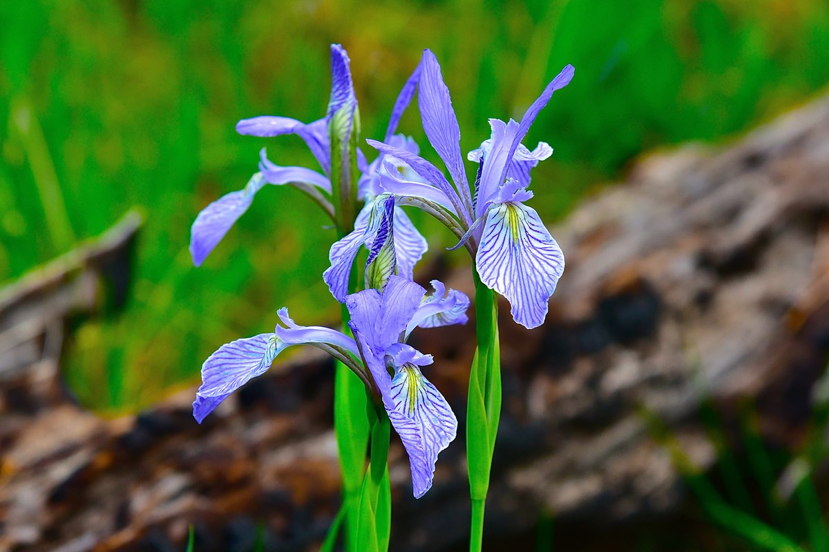 Blue Iris in Bandelier National Monument.