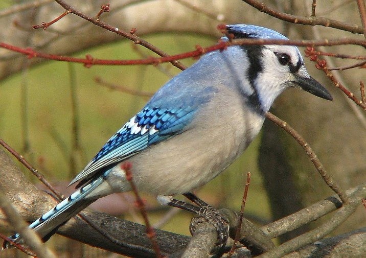 Watch out for Blue Jays (Cyanocitta cristata) along the trail.