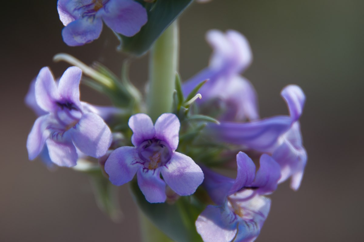 Bluestem Penstemon (Penstemon cyanocaulis) wildflower in Canyonlands National Park.