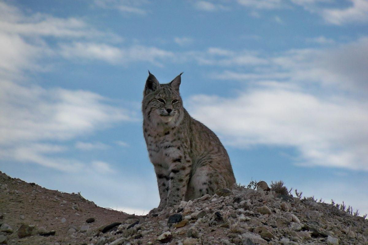 Bobcat in Badlands National Park.