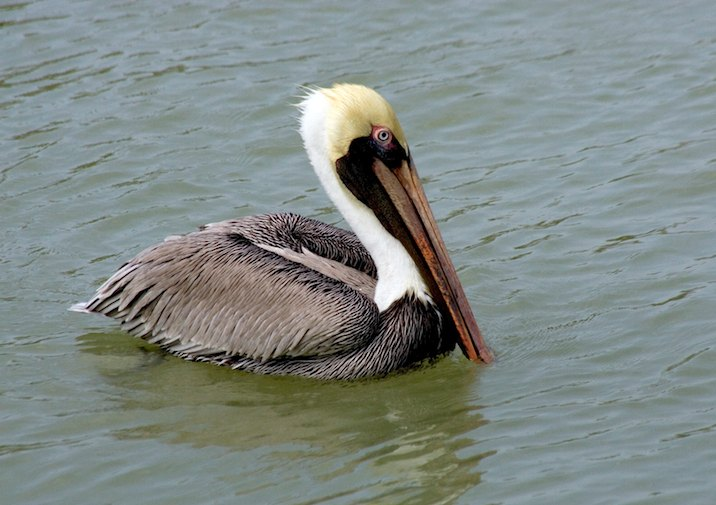 Brown Pelican (Pelecanus occidentalis) in Everglades National Park.