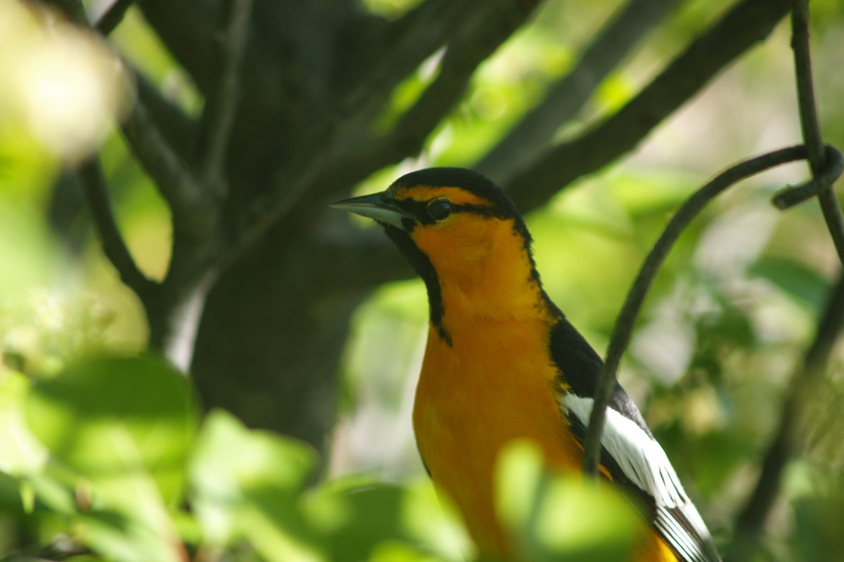 Bullock's Oriole in Barr Lake State Park near Denver.