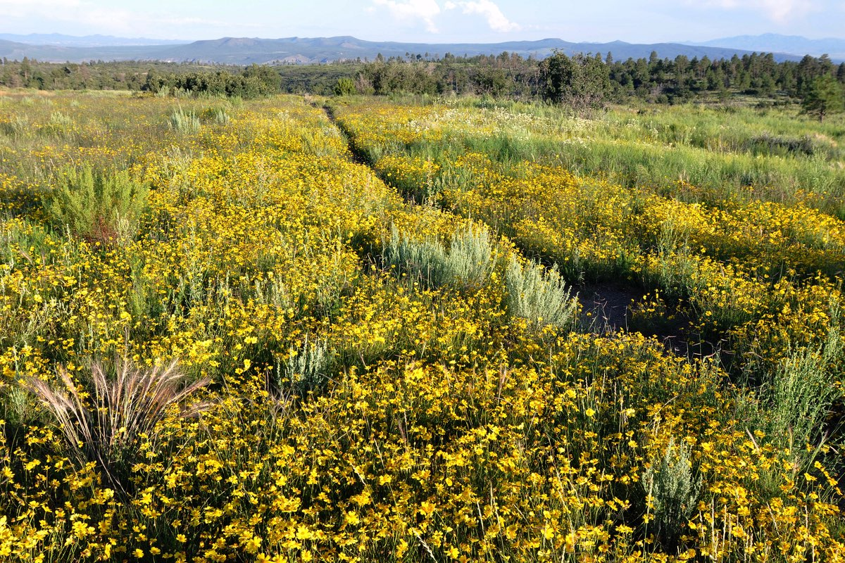 Wildflowers along the Burnt Mesa Trail in Bandelier National Monument.