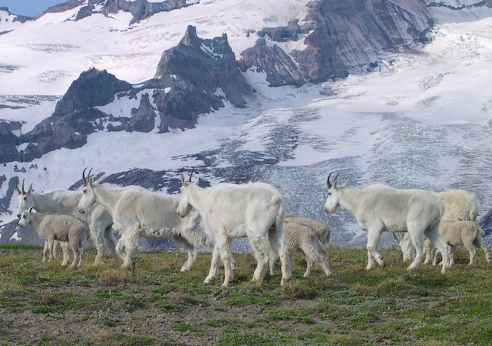 Mountain Goats along the Burroughs Mountain Trail in Mount Rainier National Park.