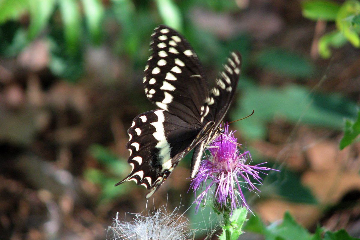 Palamedes Swallowtail in Goose Creek State Park Near Wilmington North Carolina.