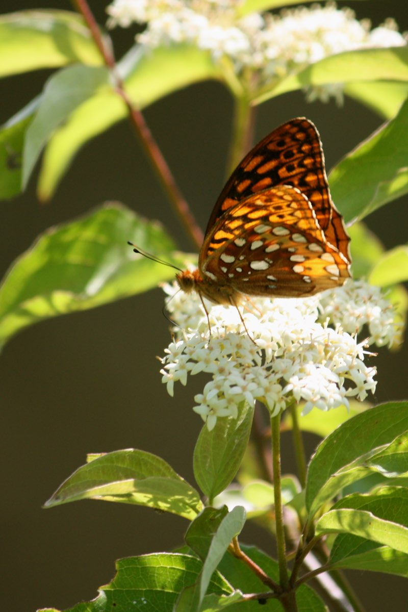 Butterfly in Knob Noster State Park Missouri.