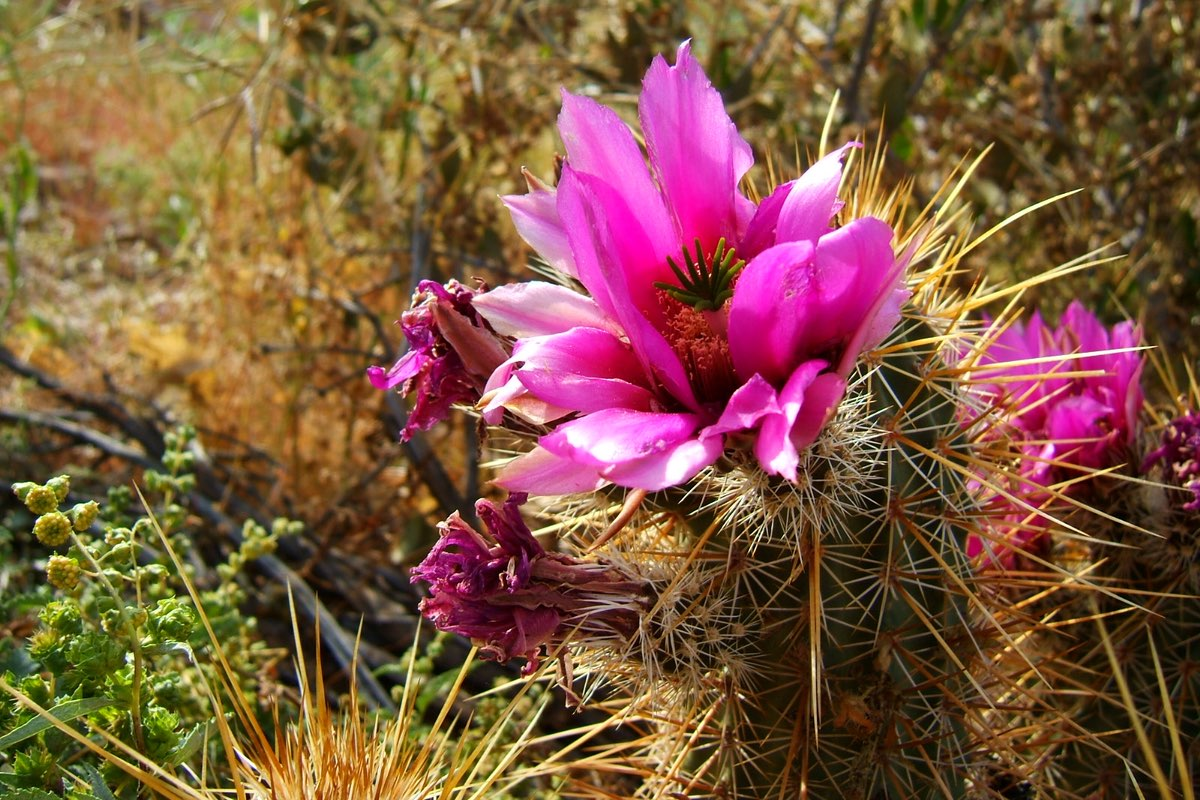 Cactus bloom in Lost Dutchman State Park.
