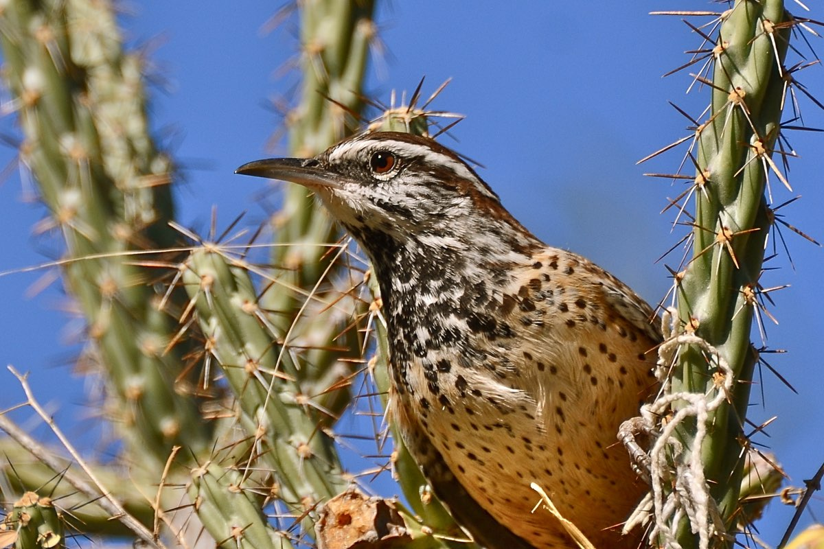 Watch for Cactus Wren along the this trail names after them.