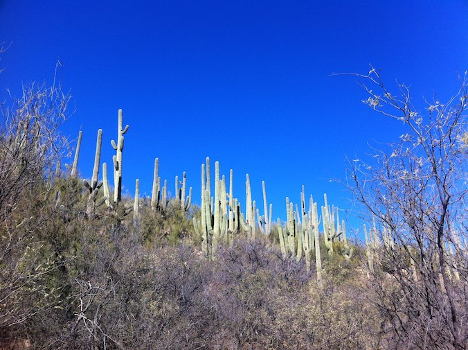 Saguaro Cacti is Catalina State Park near Tucson
