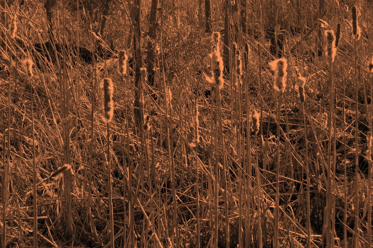 Cattails in Goose Creek State Park near Wilmington North Carolina.