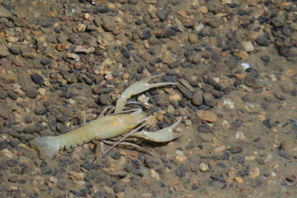 Cave Crayfish (Orconectes pellucidus) in Mammoth Cave.