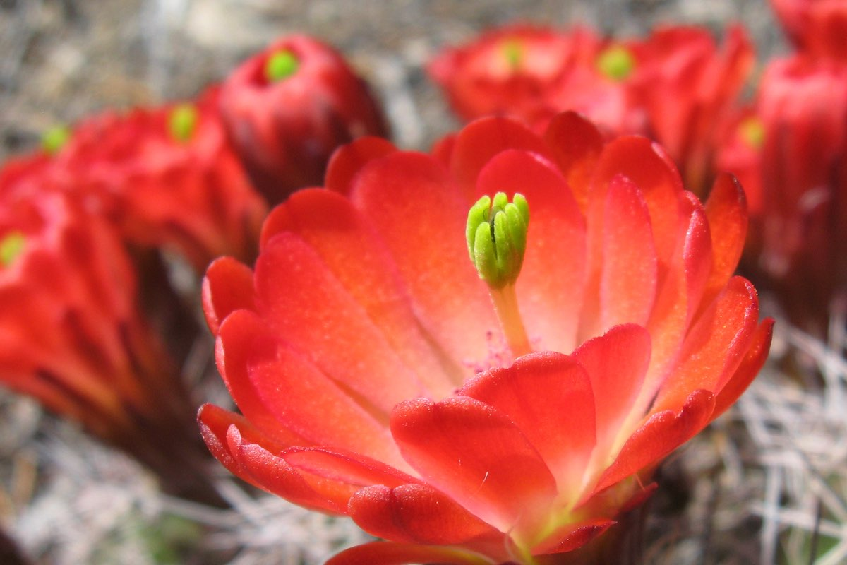 Claret Cup Cactus Bloom in Zion National Park.