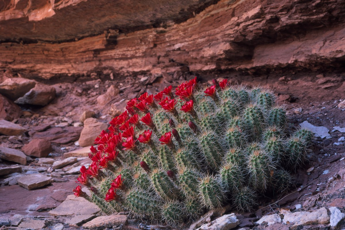 Claret Cup Cactus blooms in Canyonlands National Park.