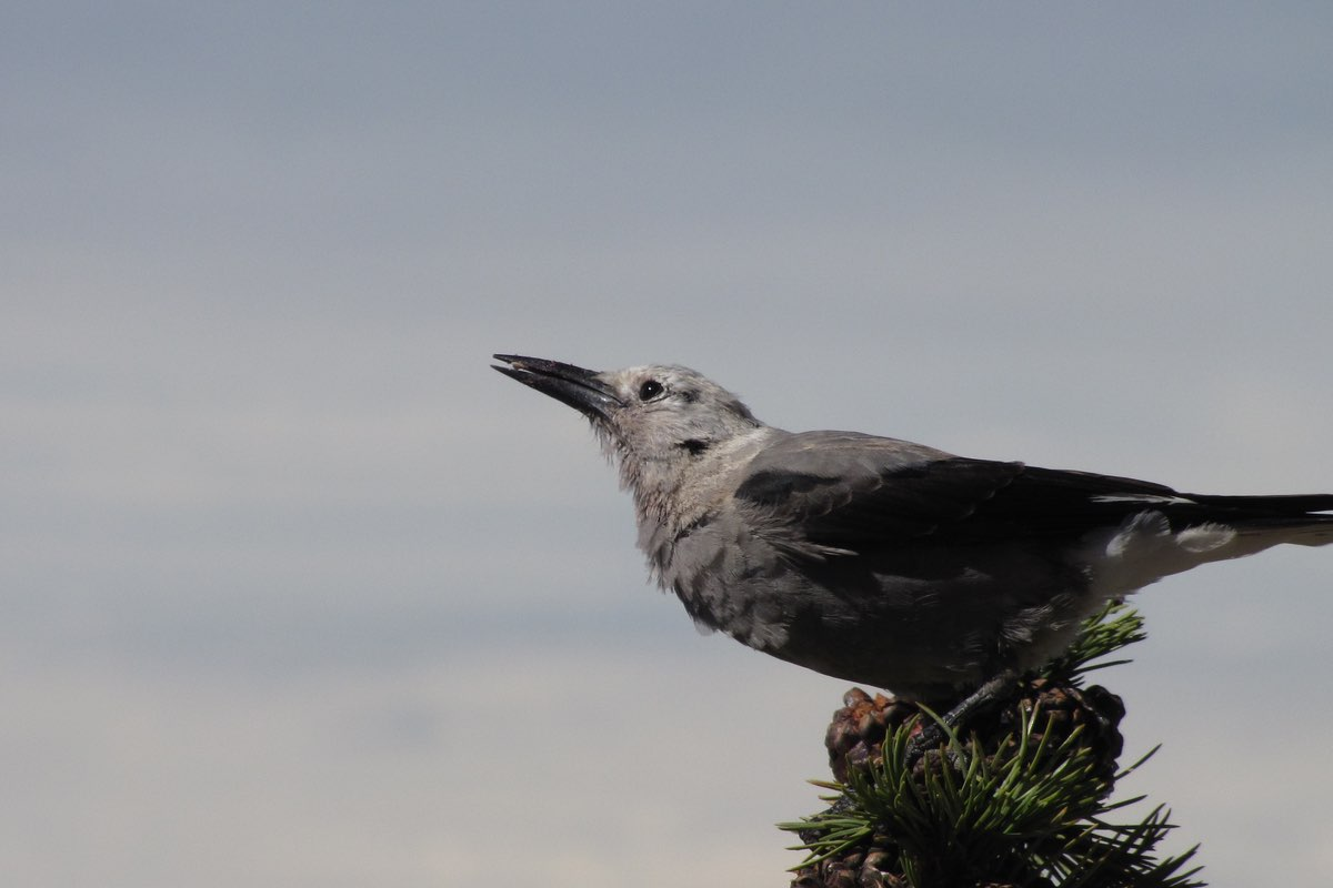 Clark's Nutcracker in Lassen Volcanic National Park.