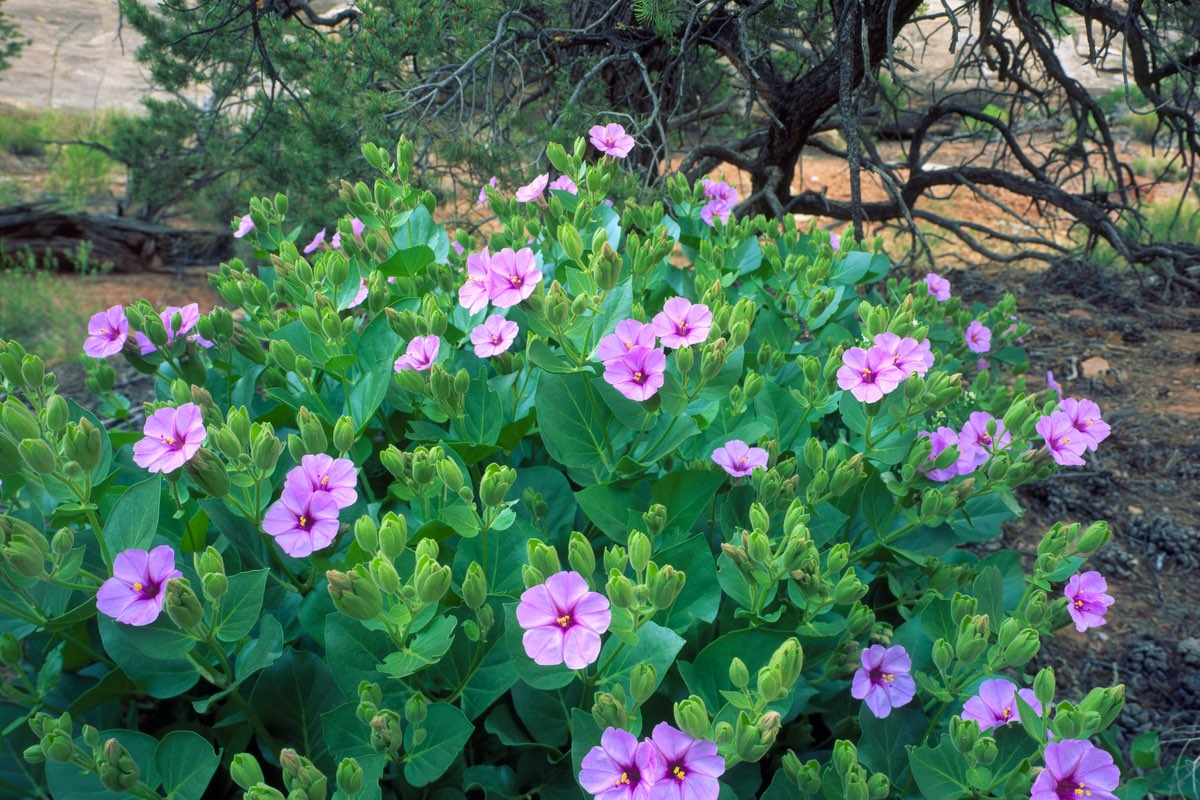 Showy or Colorado Four O'Clock (Mirabilis multiflora) in Canyonlands National Park