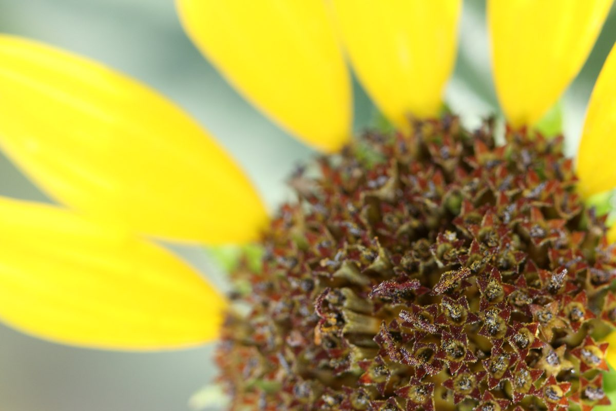 Close up of a sunflower in Badlands National Park.